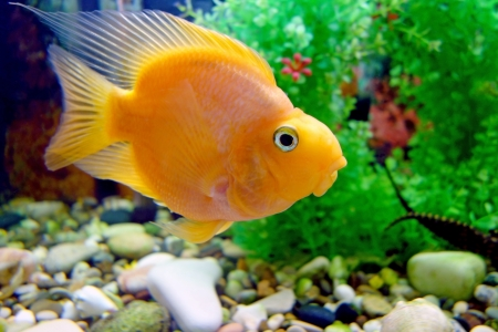 cichlid:  Beautiful red parrot  cichlid  in an aquarium