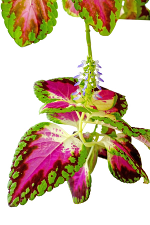 Coleus (Solenostemon) is a genus of flowering plants in the family Lamiaceae, native to tropical Africa, Asia and Australia. Some species are cultivated for their highly variegated leaves
