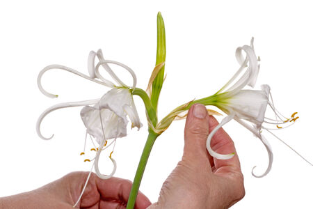 inflorescence: Ismene festalis or Hymenocallis bulbous plant with fragrant inflorescence openwork