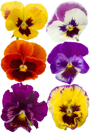 Six different Pansies isolated on a white  photo