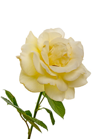 Pale yellow rose isolated Stock Photo