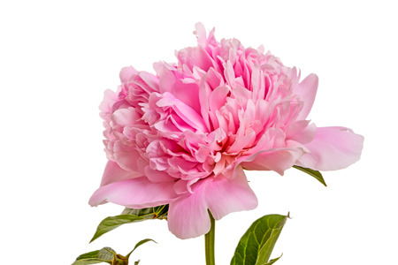 Pink peonies isolated on white background photo