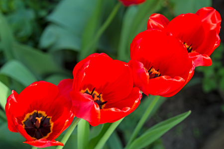 Red tulips on the flowerbed  Series of different tulips photo