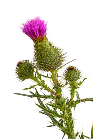 characterised: Thistle is the common name of a group of flowering plants characterised by leaves with sharp prickles on the margins, mostly in the family Asteraceae.   Isolated on black background