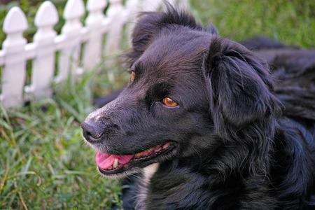 pooch: Black dog (pooch) lying near a white fence Stock Photo