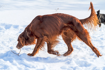 setter: The Irish Setter (red setter), is a setter, a breed of gundog and family dog