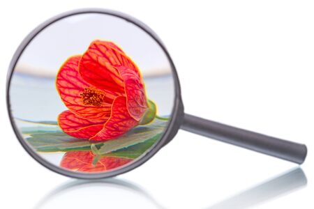malvaceae: Abutilon or room maple belongs to the family Malvaceae increased magnifying glass isolated on a white
