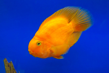cichlid: Beautiful red parrot (cichlid) in an aquarium