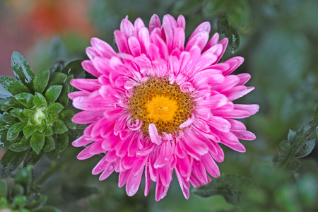 aster: Pink aster  after rain. Stock Photo