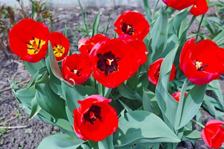 flowerbed: Red tulips on flowerbed. The quality of medium format Stock Photo