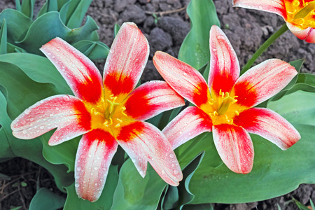 flowerbed: Two tulips on the flowerbed. The quality of medium format Stock Photo
