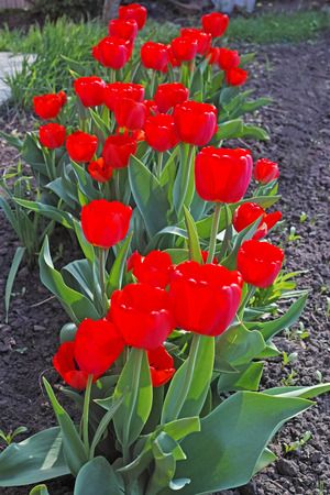 flowerbed: Red tulips on flowerbed on a sunny day. The quality of medium format Stock Photo