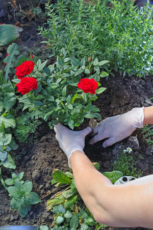transplanted: Hands in gloves transplanted a red rose on the flowerbed Stock Photo