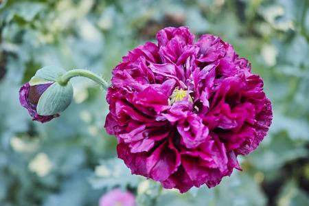 vinous: Vinous  terry cloth poppy. The quality of medium format