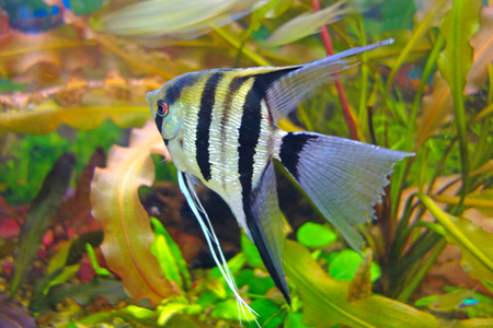 scalar: Pterophyllum is a small genus of freshwater fish from the family Cichlidae known to most aquarists as angelfish.