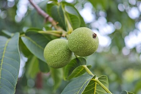 chandler: Two green walnuts in the tree. Nature background Stock Photo