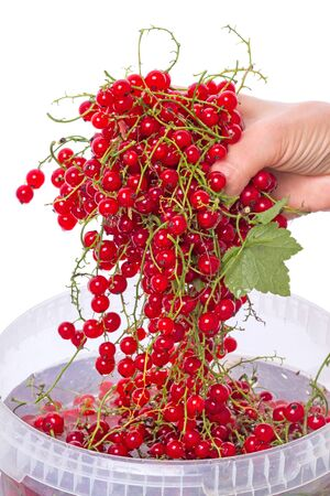 red currants: Hand wash red currants  isolated on the white background