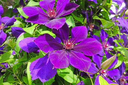 clematis: Purple Clematis flowers close up. Nature background