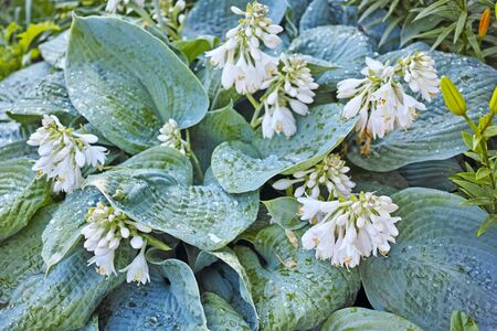 plants species: Hosta  is a genus of about 23–45 species of plants commonly known as hostas, plantain lilies (particularly in Britain) and occasionally by the Japanese name giboshi.
