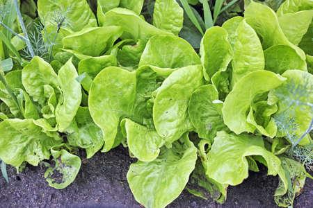 green ridge: Bed of fresh lettuce. Nature background