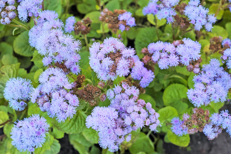 perennials: Ageratum (whiteweed in the USA), is a genus  tropical and warm temperate flowering annuals and perennials from the family Asteraceae, tribe Eupatorieae.