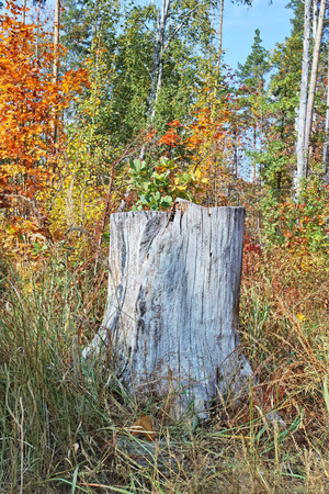 tree stump: Old oak tree stump in the forest. The quality of medium format