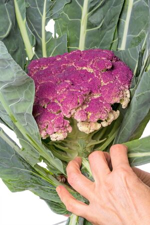 green and purple vegetables: Womans hand pulls leaves purple cauliflower