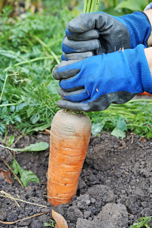 gloved: Gloved hands are pulling the tops of the big carrot out of the ground. The quality of medium format Stock Photo