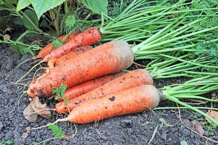 haulm: To wrest the carrot on the ground. Nature background. The quality of medium format Stock Photo