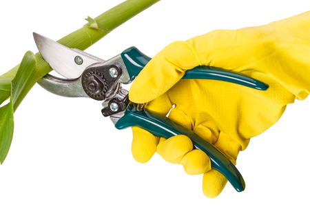 secateur: Hand in yellow glove with pruners isolated on a white background