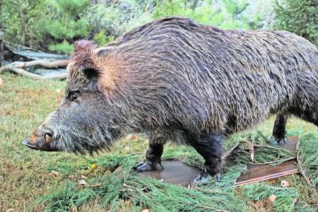 ferocious: Ferocious wild boar with fangs (stuffed) outdoors. The quality of medium format
