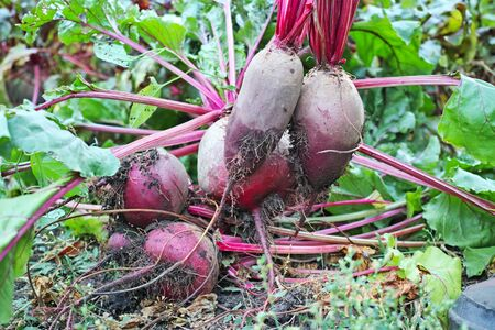haulm: Vomited red beets from beds. Nature background. The quality of medium format