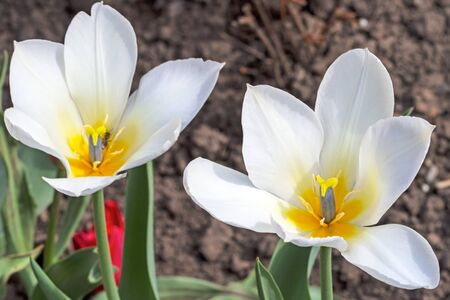 flowerbed: Two white tulips on the flowerbed. Nature background