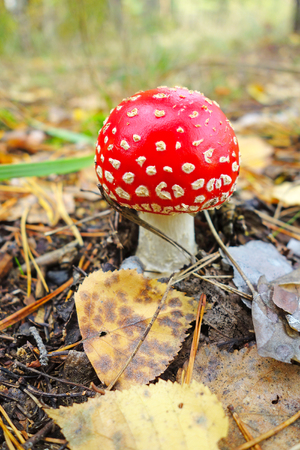 agaric: Fly agaric in the forest. Nature background