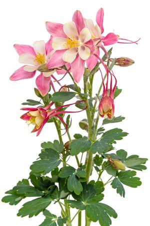 plants species: Aquilegia � un genere di circa 60-70 specie di piante perenni che si trovano nei prati Archivio Fotografico