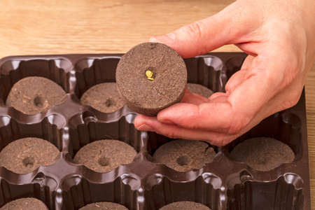 turba: Cassettes with peat pellets for seedlings and seeds of tomato