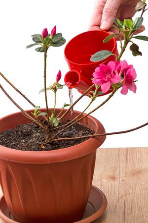 greek pot: Mano innaffiare piantina rododendri in una pentola isolato su sfondo bianco. Nome Rhododendron dal rhodon Greco - rosa, e dendron - un albero.