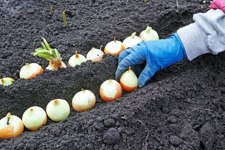 gloved: A gloved hand planting onion on greens