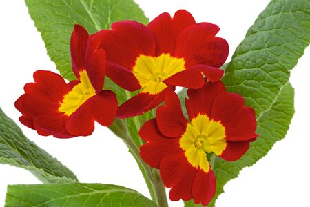 primula: Red with yellow flowers Primroses (Primula Vulgaris) Stock Photo