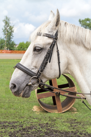 bridle: Workhorse white suit with a bridle on a background of the equipment Stock Photo