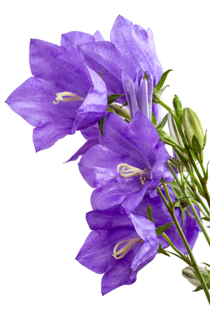little bell: Campanula is one of several genera in the family Campanulaceae with the common name bellflower. It takes both its common and its scientific name from its bell-shaped flowers�campanula is Latin for little bell.
