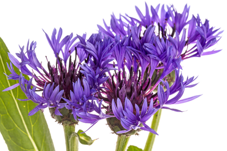 plants species: Centaurea is a genus of between 350 and 600 species of herbaceous thistle-like flowering plants in the family Asteraceae. Isolated on white background Archivio Fotografico