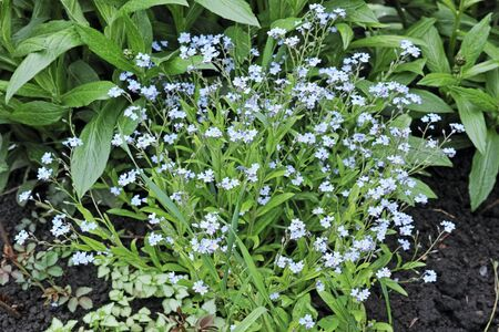 herbaceous plant: Forget-me-not - herbaceous plant with small blue flowers. The quality of medium format