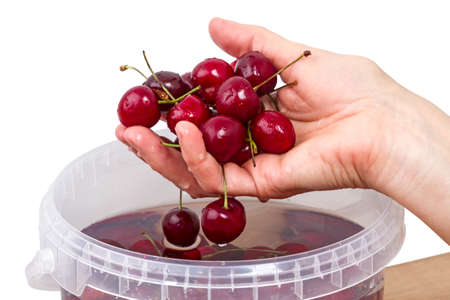 washed: Hand with washed cherries isolated on a white background