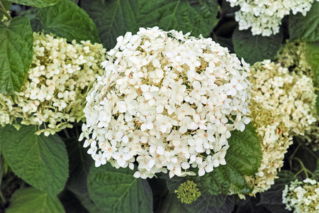 Hydrangea arborescens, commonly known as smooth hydrangea, wild hydrangea, or sevenbark, is a species of flowering plant in the family Hydrangeaceae.