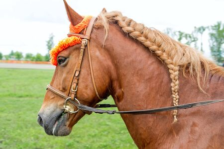 mane: Chestnut horse with a braided mane in a braid Stock Photo