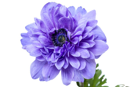 Anemone is a genus of about 120 species of flowering plants in the family Ranunculaceae, native to temperate zones. Isolated on a white background
