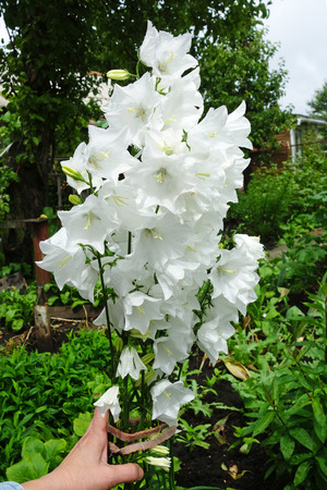 Campanula is one of several genera in the family Campanulaceae with the common name bellflower. It takes both its common and its scientific name from its bell-shaped flowers—campanula is Latin for little bell.