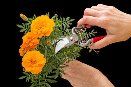 Orange Marigold and garden pruner in hand  on black background
