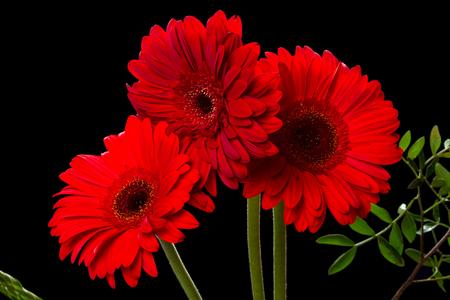 Gerber (Latin Gerbera) - genus of perennial herbs of the family Asteraceae or Compositae (Asteraceae). Фото со стока